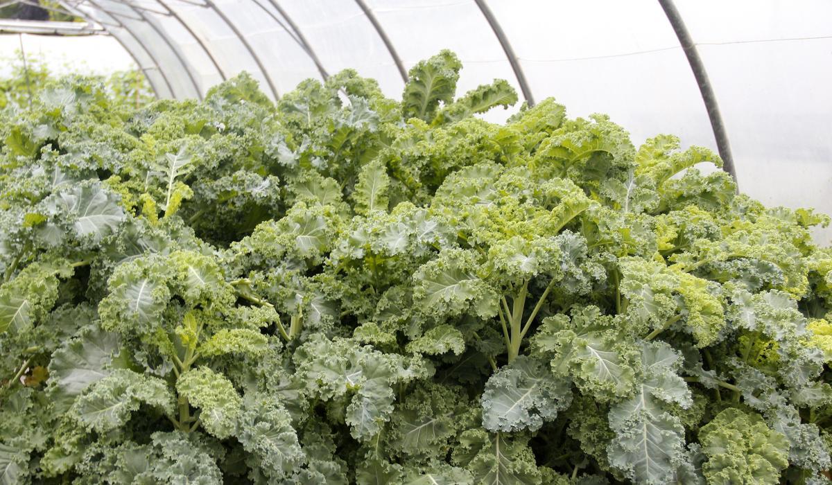 'Kale', una col muy de moda por sus bondades | Karabeleko